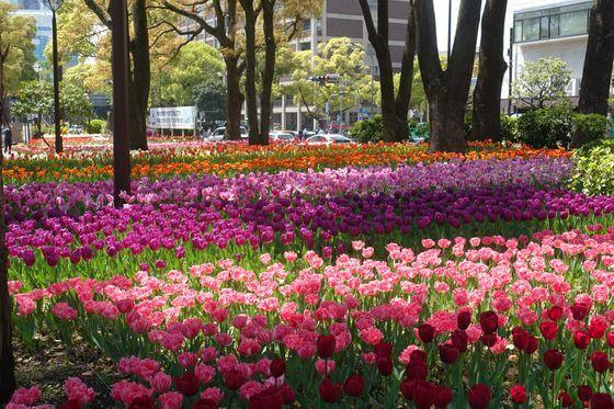 横浜公園 チューリップ