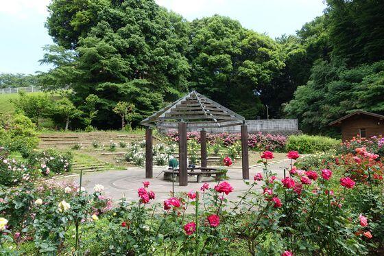 城山公園 バラ