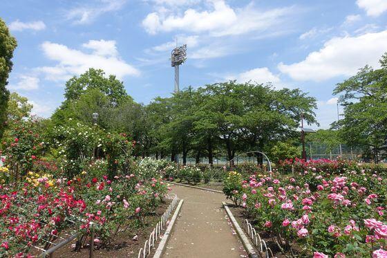 光綾公園 バラ