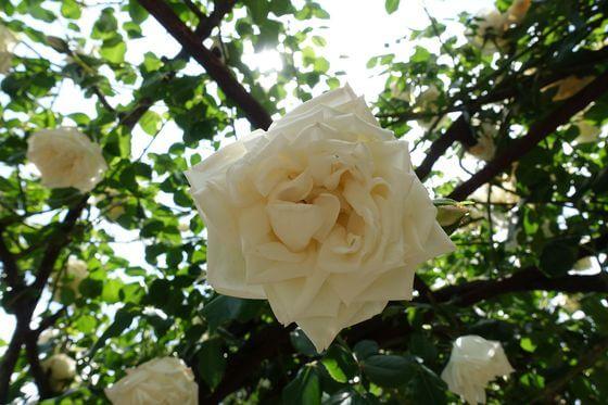 ホワイトマスターピース バラ