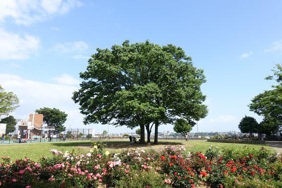 野毛山公園 バラ
