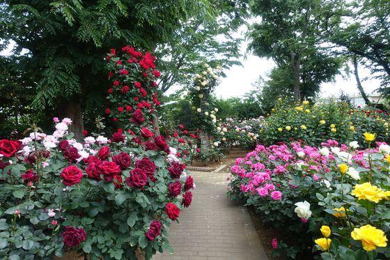 市川市 薔薇