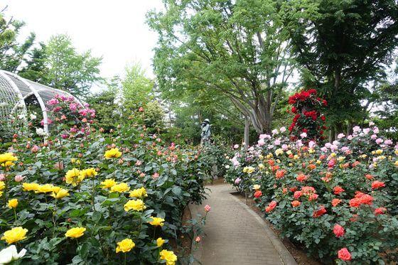 市川 須和田公園 薔薇