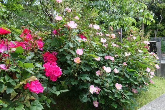 市川市芳澤ガーデンギャラリー 薔薇