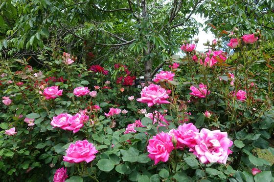 芳澤ガーデンギャラリー バラ