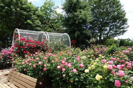 須和田公園 バラ