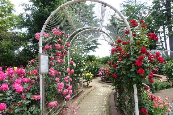須和田公園 薔薇