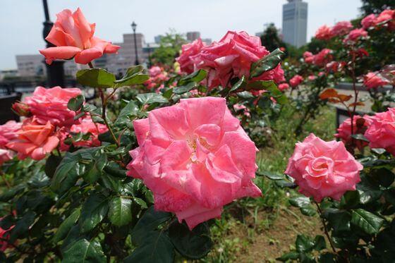 湘南ファンタジー バラ