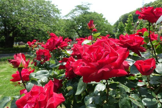 ヴェルニー公園 バラ 開花状況