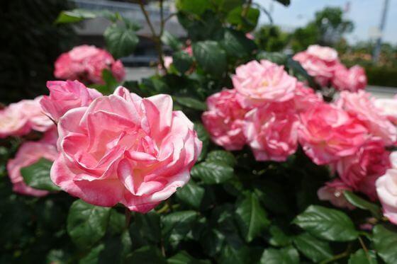 桜霞 バラ