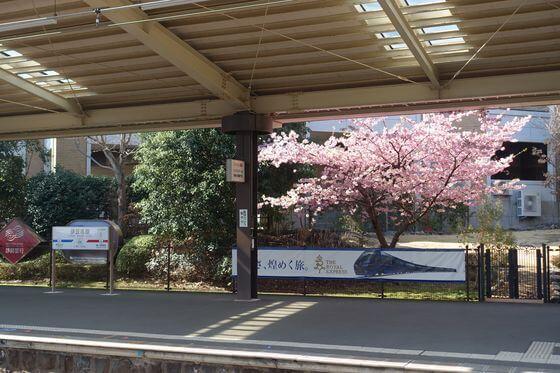 河津桜 伊豆高原駅