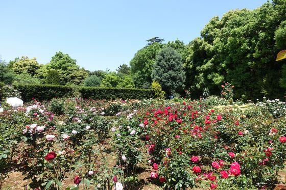 清水公園 薔薇