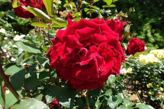 ベルサイユのばら 薔薇