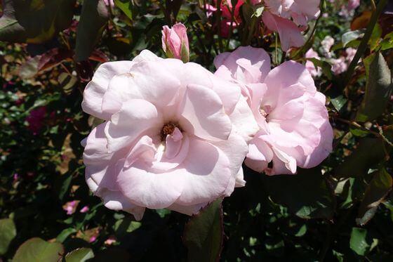 芳純 バラ