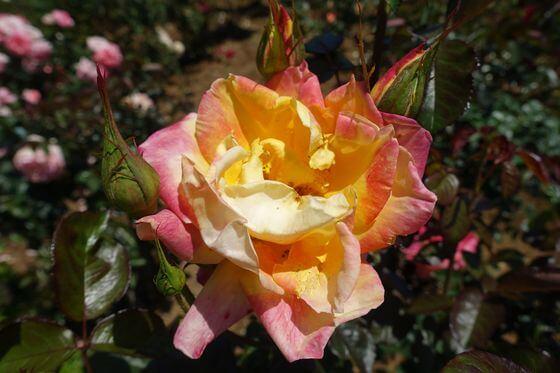 プリンセスアイコ バラ