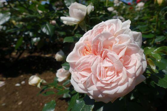 ガーデンオブローゼス バラ