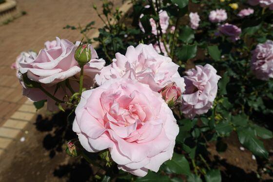 ピンクフレンチレース バラ