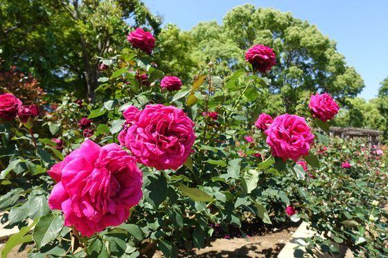 柏の葉公園 薔薇