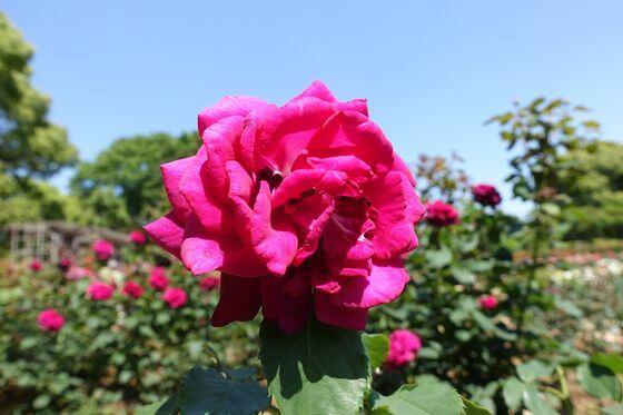 グレーフィンディアナ バラ