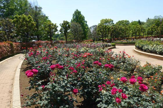 柏の葉公園 バラ