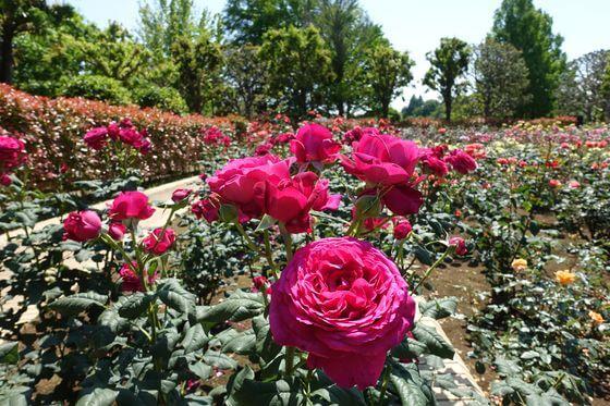 柏の葉公園 バラ園 開花状況