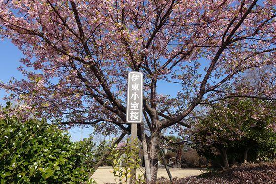 小室山公園 伊東小室桜