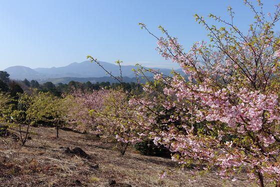 小室山 伊東小室桜