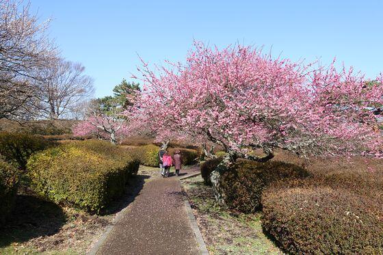 小室山公園 梅園