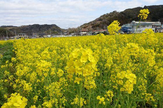 日野の菜の花畑 開花状況