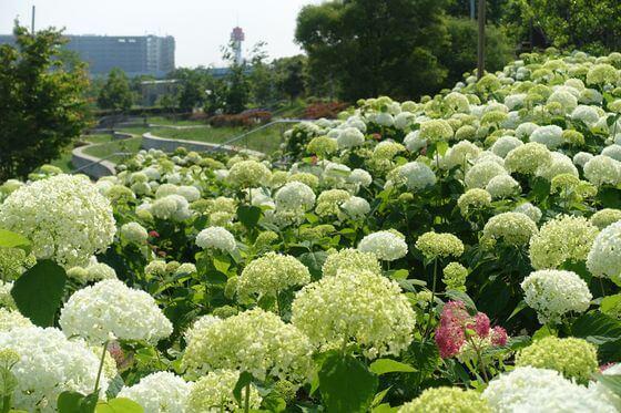 水の広場公園 紫陽花 開花状況