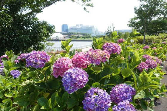 水の広場公園 紫陽花