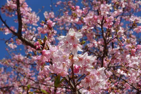 さくらの里 伊豆 寒桜