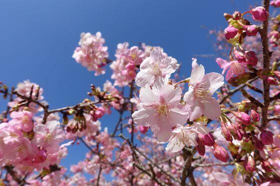大室山 さくらの里 河津桜