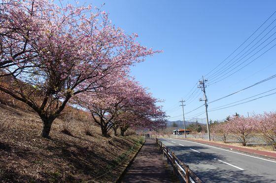 さくらの里 河津桜