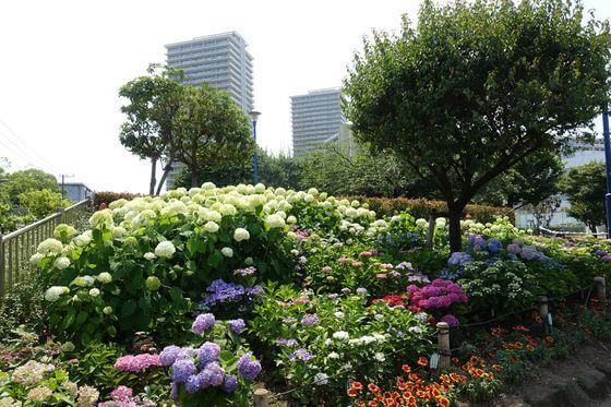 下丸子公園 紫陽花