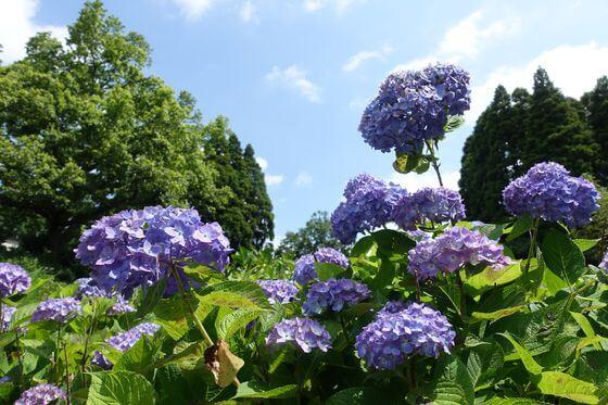千葉 昭和の森 紫陽花