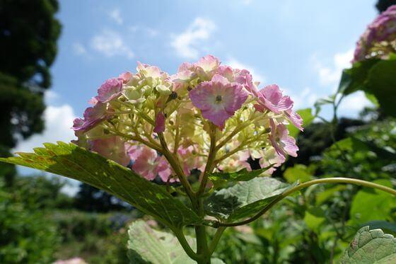 昭和の森 紫陽花 開花状況