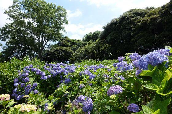 昭和の森 紫陽花