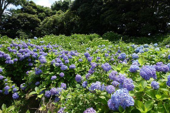 昭和の森 千葉 紫陽花