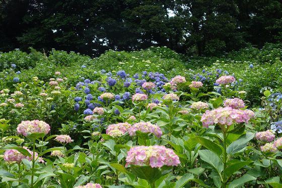 昭和の森 紫陽花 見頃