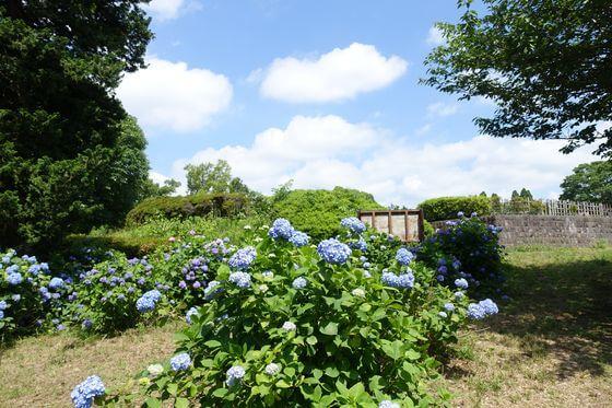 昭和の森 紫陽花 種類