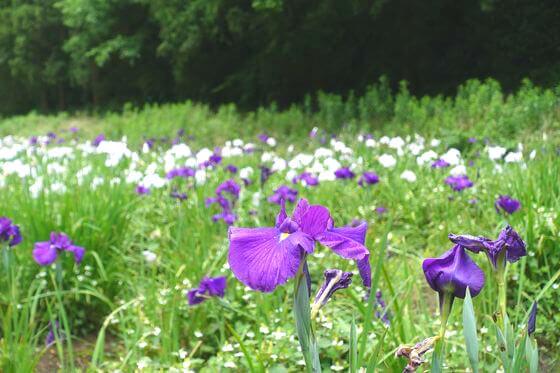 千葉県 昭和の森 花菖蒲