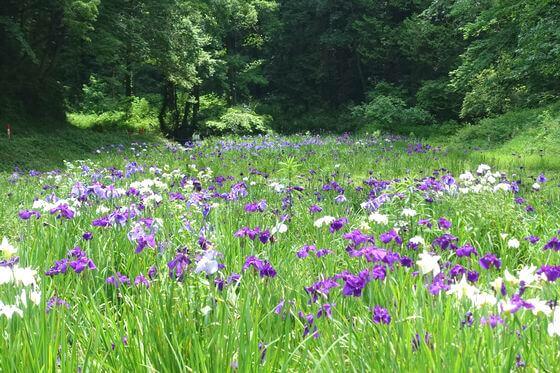 千葉県 昭和の森 花しょうぶ