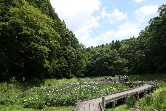 昭和の森 ハナショウブ