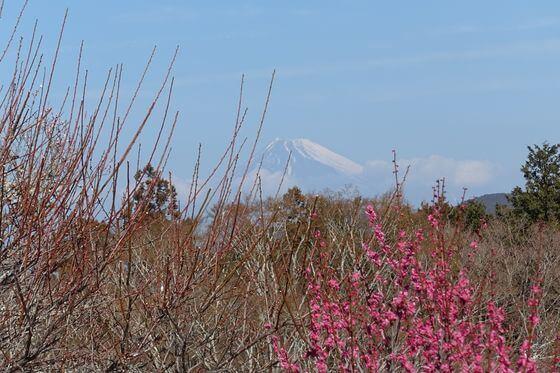 修善寺梅林 富士山
