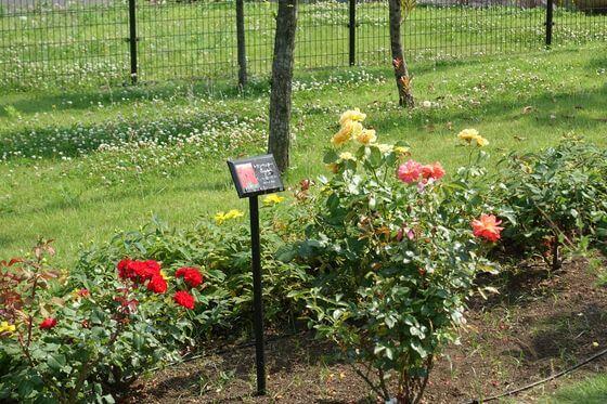 シンボルプロムナード公園 薔薇