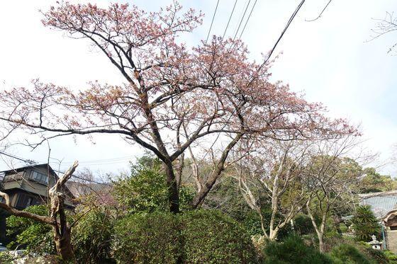 伊東 松月院 寒桜