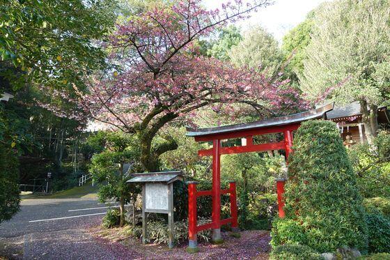松月院 寒桜