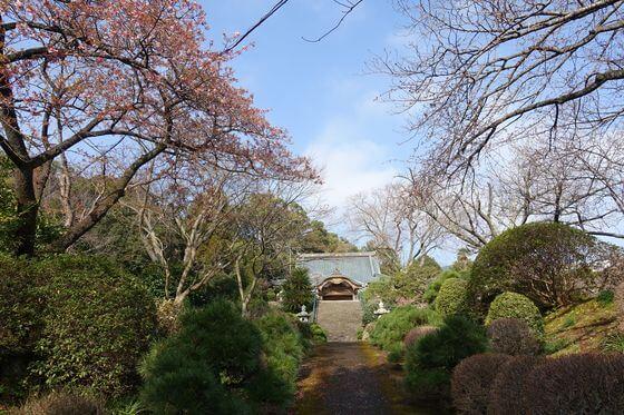 松月院 寒桜 開花状況