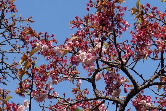 松月院 寒桜 見頃